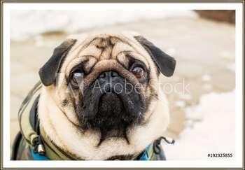 Dog breed pug. Portrait of a pet Framed Poster