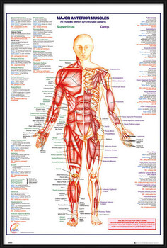 Framed Poster Human Body - Major Anterior Muscles